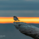 Mockingbird Sunrise