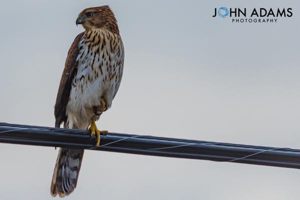 Hawk Wire